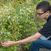 AMANDA SABGA/Staff photo<br /> <br /> Edgar Pacheco, 15, picks raspberries in the garden as part of the Extended School Year Program for students with special Needs at Haverhill High School. <br /> <br /> 8/7/19