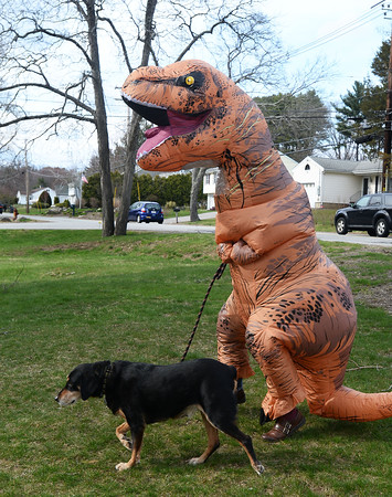 CARL RUSSO/Staff photo. Laurie Chester of Salisbury went a little further to protect herself and others from the Coronavirus by wearing a T-Rex costume. <br /> <br /> Chester and her dog, Skeeter surprised her son, who lives in Haverhill ( he would not give his name) on his 21st. birthday dressed as T-Rex (Tyrannosaurus Rex) in the North Ave. neighborhood. <br /> <br /> While walking her dog, she received a number of honks and cheers from passing motorist. This was the very the first time she dressed up in the T-Rex costume. 4/17/2020