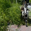TIM JEAN/Staff photo<br /> <br /> Goat from Goats to Go in Georgetown are lead in to chow down on the tall grass at Mill Brook Park in Haverhill. The park is the new site of Haverhill's Vietnam Veterans Memorial.   7/28/20