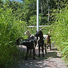 TIM JEAN/Staff photo<br /> <br /> Goat from Goats to Go in Georgetown, eat the tall grass at Mill Brook Park in Haverhill. The park is the new site of Haverhill's Vietnam Veterans Memorial.   7/28/20