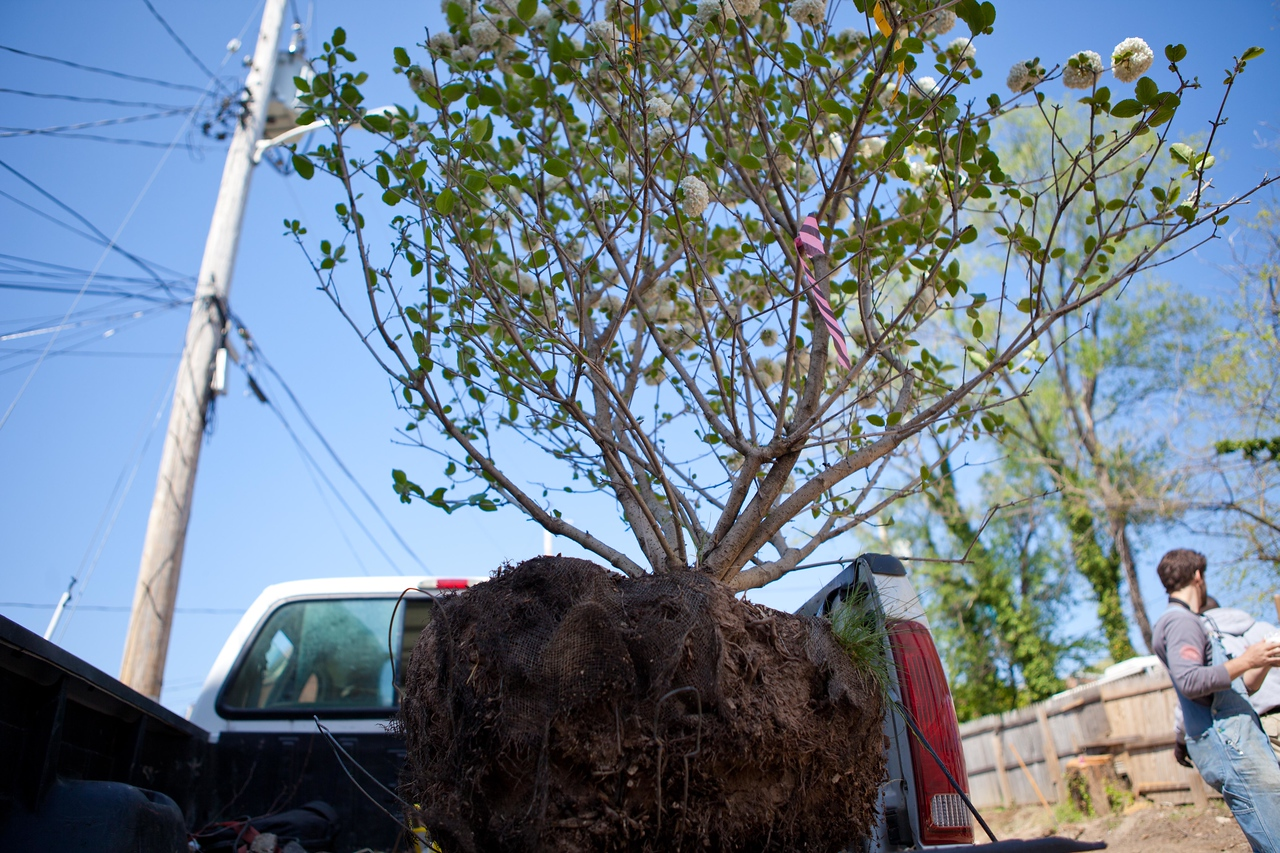 A tree awaits planting at the Service Bowl in Baltimore, MD. Corporation for National and Community Service Photo.