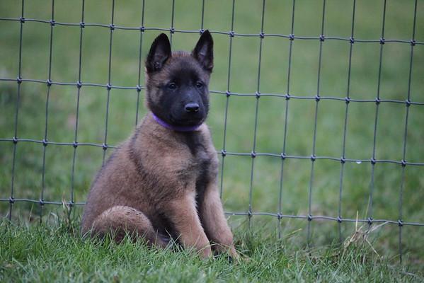 Nia Puppies 6 weeks 6 days