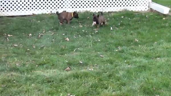 Nia puppies 4 weeks 6 days