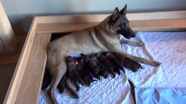 Nia's puppies 5 days old