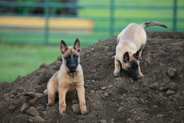 Nia puppies 8/16/2014