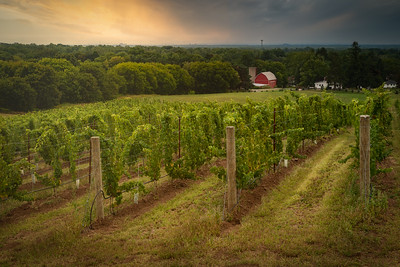 Sunrise Over the Vineyard - Pelham