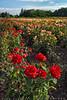 Niagara Roses (#0501
