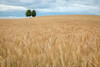 Above the Wheat Field (#0434)