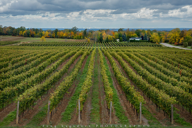 Autumn Comes To Niagara's Vineyards (#0643)