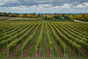 Autumn Comes To Niagara's Vineyards (#0643)