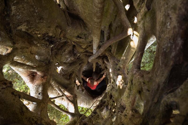 Climbing inside a Matapalo tree, Miraflor Nature Reserve, Nicaragua.