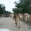 """A Traffic Jam on Isla Ometepe (this is actually walking across the new """"International Air Strip"""" they're building!!!)"""