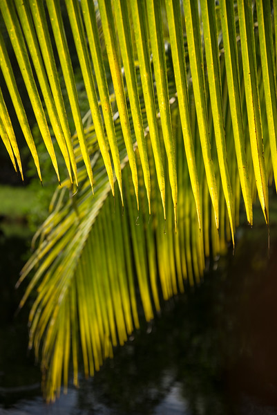 Palm fronds backlit by sun, Big Corn Island, Nicaragua