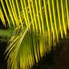 Palm fronds backlit by sun, Big Corn Island, Nicaragua
