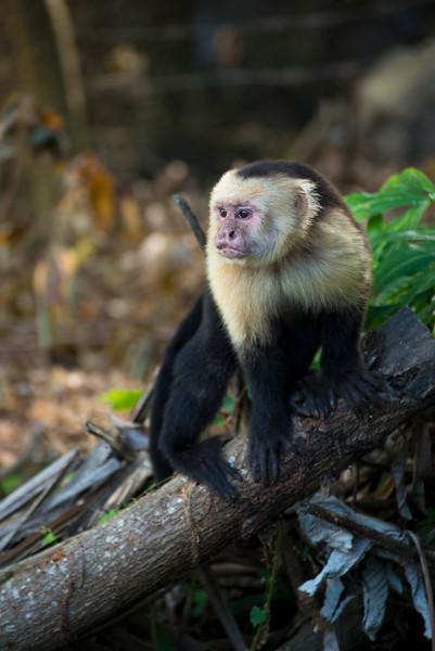 Capuchin monkey, Ometepe Island, Nicaragua