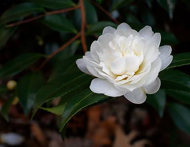 White flower on a bush, National Arboretum, Washington, DC, USA