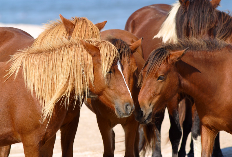 Assateague wild ponies have been on the Assateague Island since the 1600's.