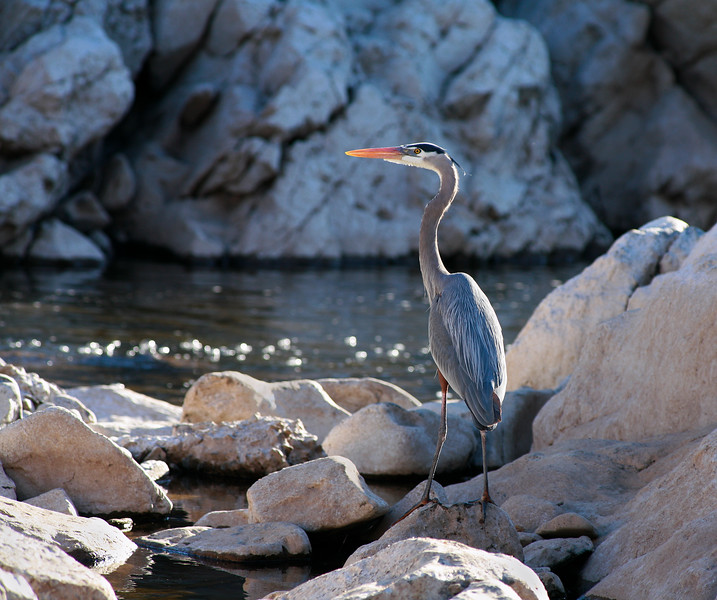A heron on rocks near Great Falls of the Potomac, Great Falls National Park, Maryland, Virginia, USA.