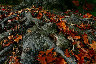 Tree roots covered with fallen leaves, National Arboretum, USA.
