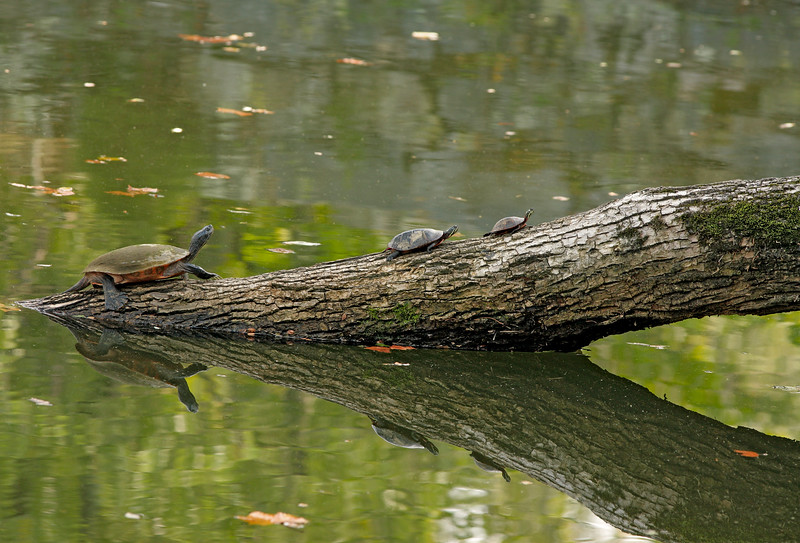 Turtle family resting and sunbathing on a log, C&O Canal, Great Falls National Park, Maryland, USA.