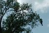 Bird nests in the tree.