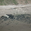 Sheppey, Warden Point sound mirror, eroding slowly.