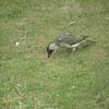 Green woodpecker ignoring thunder
