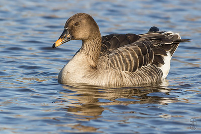 Taiga Bean Goose (Sædgås / Anser fabalis)from Østensjøvannet, Oslo (Norway) in 2012. This is a rare visitor in southern Norway and normally quite shy. Lucky for me this one wasn't :-)  Canon 550D, Sigma 150-500mm.  The photo is part of a Taiga Bean Goose set.