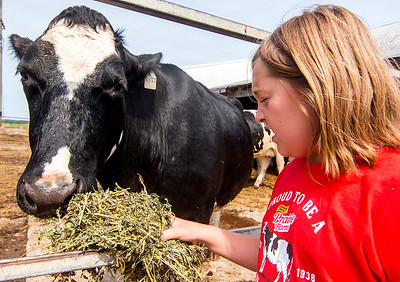 Eight-year-old Alicen Niemerg feeds alfalfa to a dairy cow at her family farm in Dieterich Wednesday morning. Keith Stewart Photo