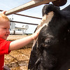Two-year-old Abraham Niemerg pets a dairy cow on his family's dairy farm in Dieterich Wednesday morning.<br /> Keith Stewart Photo