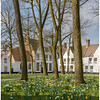Daffodils in the Convent