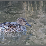Wintertaling/Common Teal