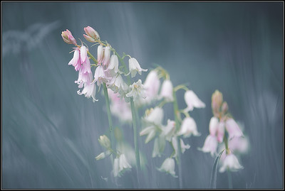 Boshyacint/Wood hyacinth