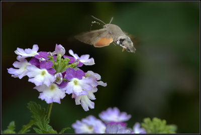 Kolibrievlinder/Humming-bird Hawk Moth