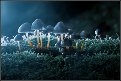 Fraaisteelmycena/Clustered bonnet