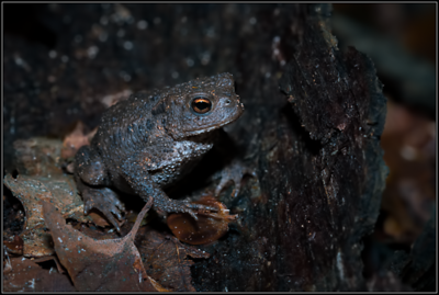 Gewone Pad/Common Toad