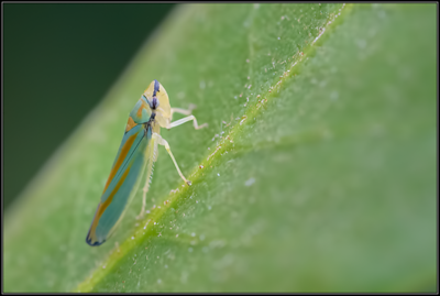 Rododendroncicade/ Rhododendron leafhopper