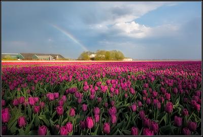 Tulpenveld/Tulip field