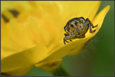 Lissnuitkever/Iris seed weevil
