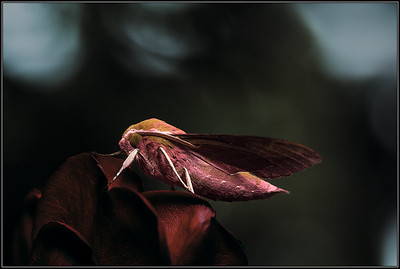 Groot avondrood/Elephant Hawk-moth