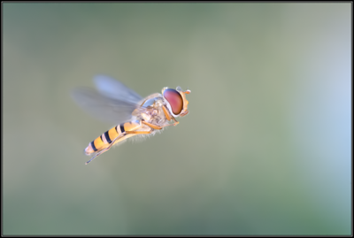 Snorzweefvlieg/Marmalade hoverfly