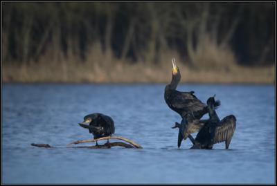 Aalscholver/Great Cormorant