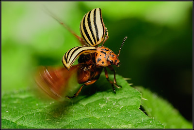 Coloradokever/Colorado Potato Beetle