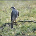 Sperwer/Eurasian Sparrowhawk