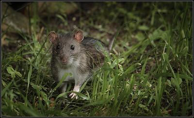 Bruine rat/Brown rat