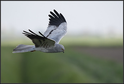 Grauwe Kiekendief/Montagu's Harrier