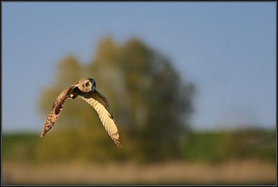 Velduil/Short eared owl