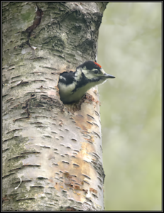 Grote bonte Specht/Great Spotted Woodpecker