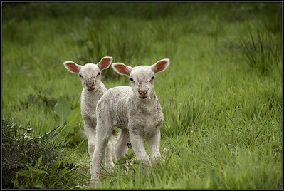 Lam/lamb