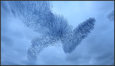 vliegspoor van spreeuwen/flight paths of starlings